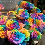 1356518801_a-bunch-of-rainbow-roses-for-sale-by-gertrud-k-620x474